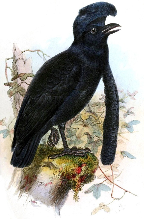 Long-wattled umbrella bird
