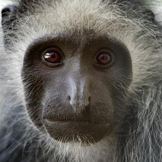 Mount Kilimanjaro Colobus monkeys