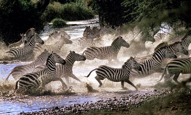 zebra migration Botswana