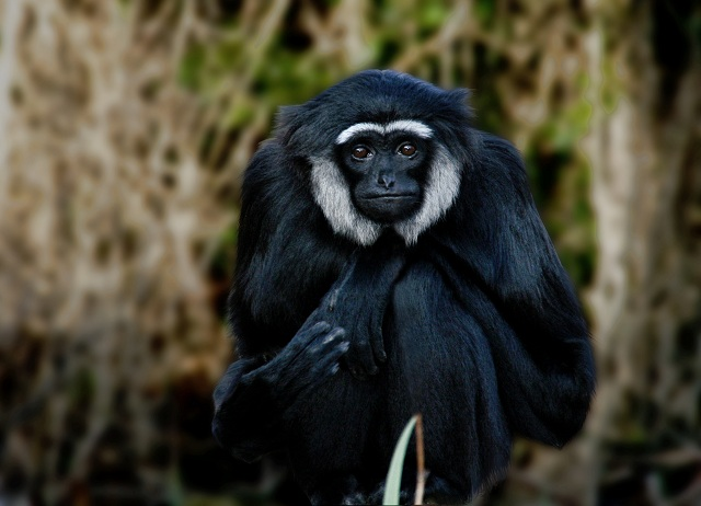 Wildlife Tours Gibbons