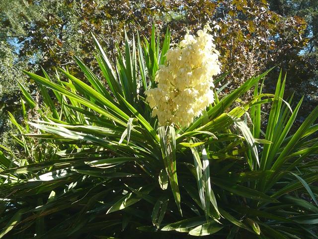 Izote flower