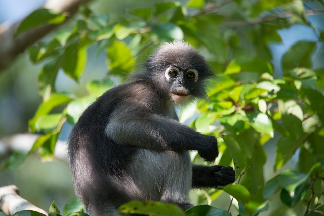 Wildlife Tours Leaf Monkeys