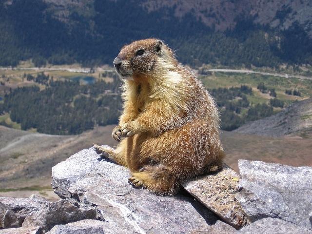 Mormots