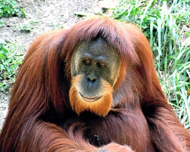 Wildlife Tours Orangutans