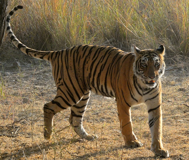 Wildlife Tours Royal Bengal Tigers