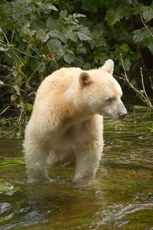 Wildlife Tours Kermode Bear
