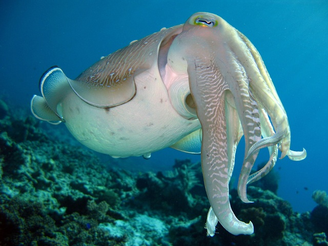 Hooded Cuttlefish