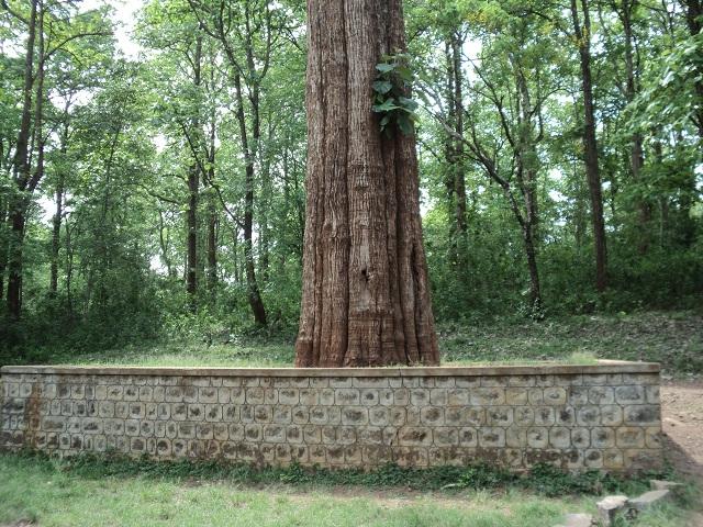 Kannimara teak tree Parambikulam Tiger Reserve