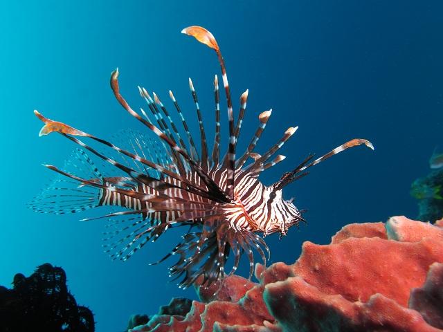 Lionfish Scuba Diving
