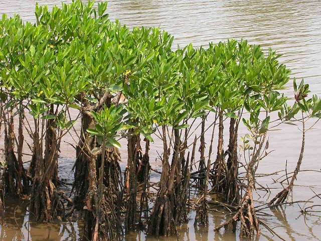 Mangroves in Bhitarkanika National Park