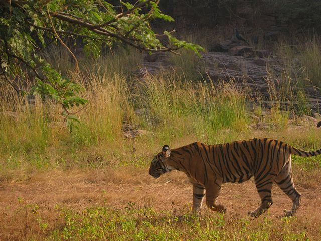 Ranthambore Tiger Reserve Tiger