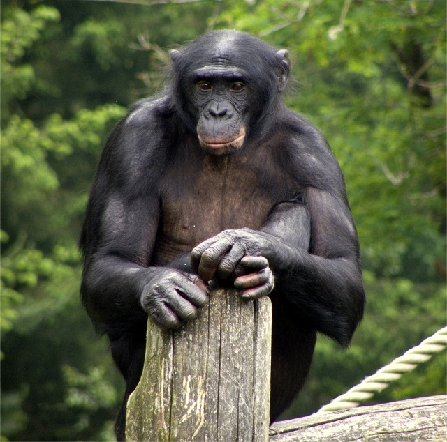 Bonobo in African National Parks