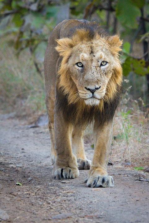 king of Gir Forest