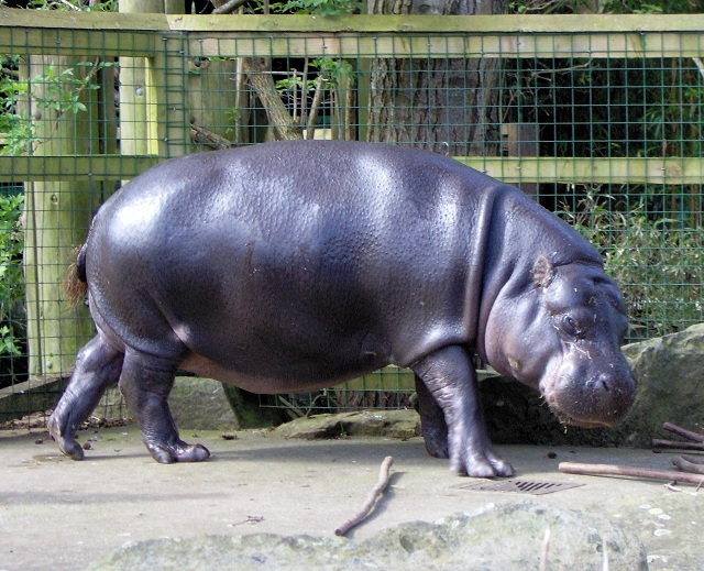 pygmy hippopotamus in African National Parks