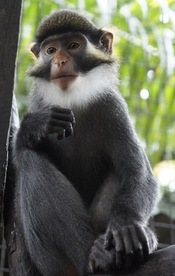 red-eared Guenon
