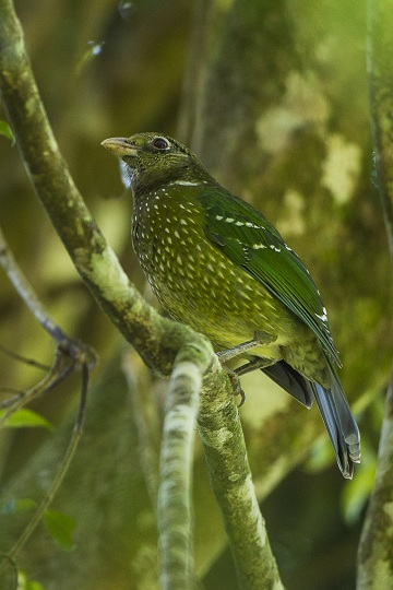 Green Catbirds