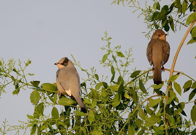 BirdGrey Hypocolius in Watching Places in Gujarat
