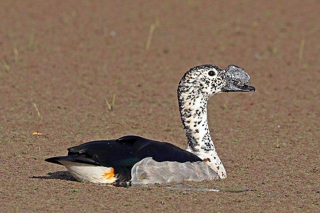 Knob-billed Duck in Bird Watching Places in Gujarat