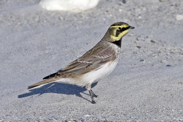 Lark in Bird Watching Places in Gujarat