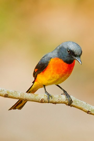 Small Minivet Bird Watching Places in Gujarat