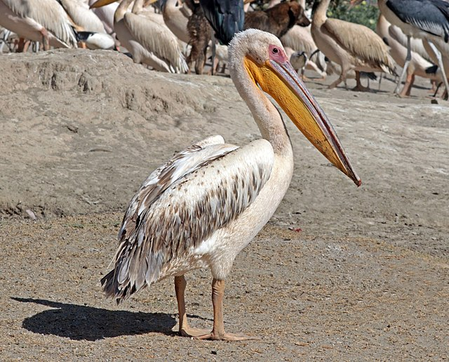 White Pelicans in Bird Watching Places in Gujarat