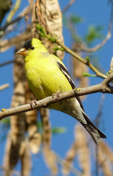American Goldfinch - Greenbrier Valley