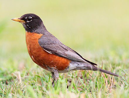 American Robin-Greenbrier Valley