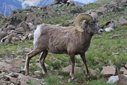 Bighorn Sheep in United States National Parks