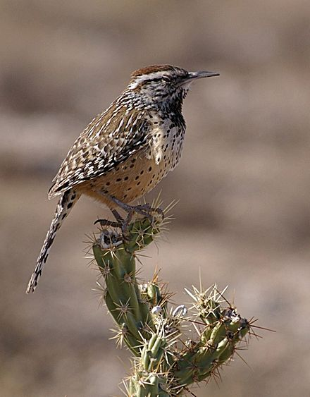 Cactus Wrens in United States National Parks
