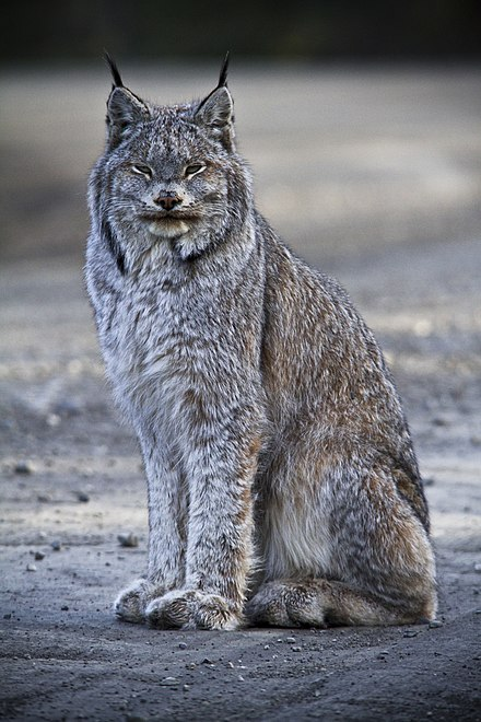 Canadian Linx in United States National Parks