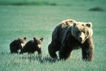 Grizzly Bear in United States National Parks