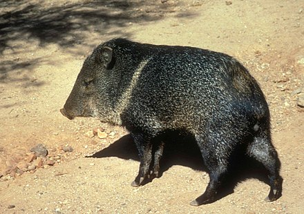 Javelina in United States National Parks