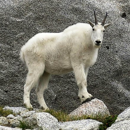 Mountain Goat United States National Parks