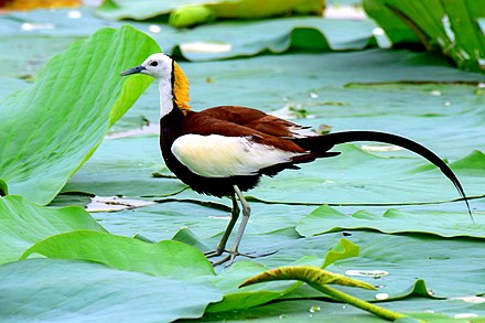 Pheasant-tailed Jacana in Lakes near Mumbai