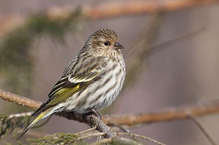 Pine Siskins in United States National Parks