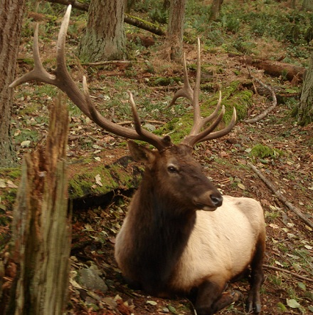 Roosevelt Elk in United States National Parks