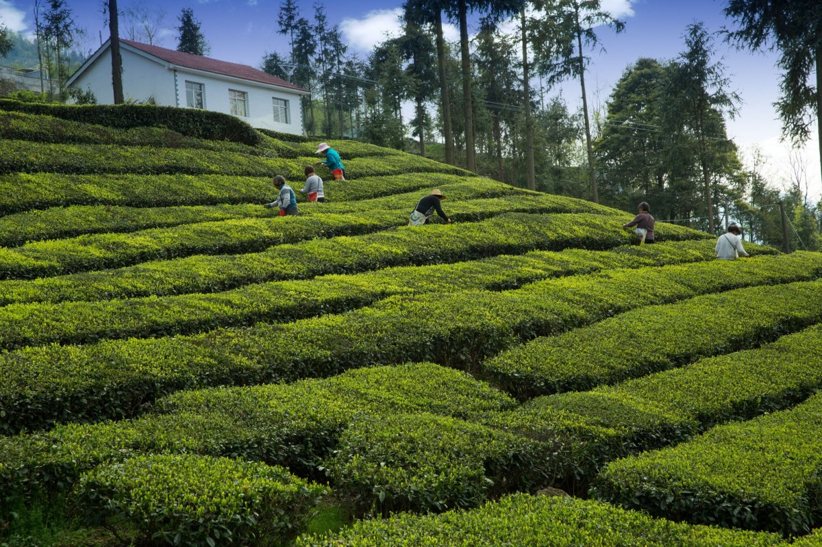 Tea Estate Bungalows in Darjeeling