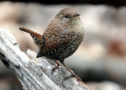Winter Wrens
