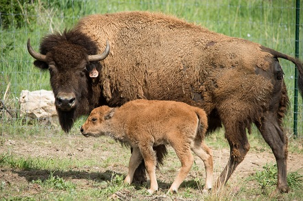 baby bison in United States National Parks
