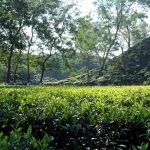 7 Scenic Tea Estates in Assam