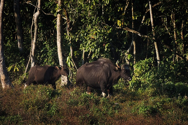 Travel Guide Chapramari Wildlife Sanctuary and Gorumara National Park