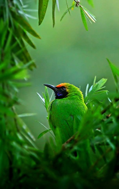 Chapramari Wildlife Sanctuary Gold-fronted Leafbird
