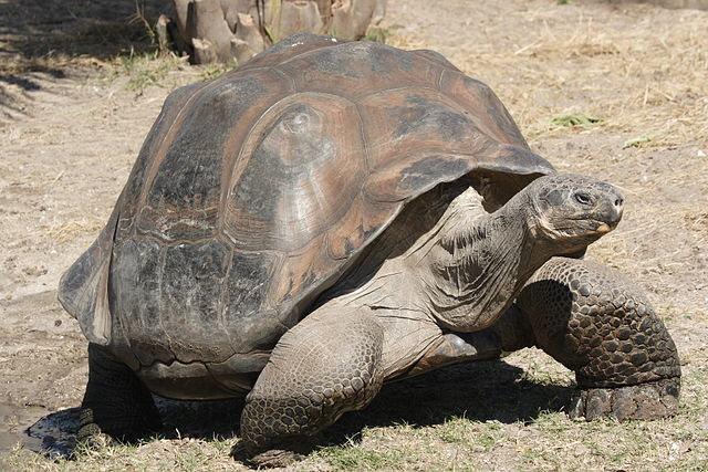 Galapagos Islands Animals tortoise