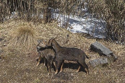 Ghoral deer