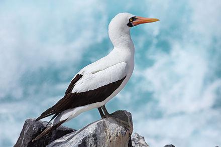 Australian Birds Nazca Booby