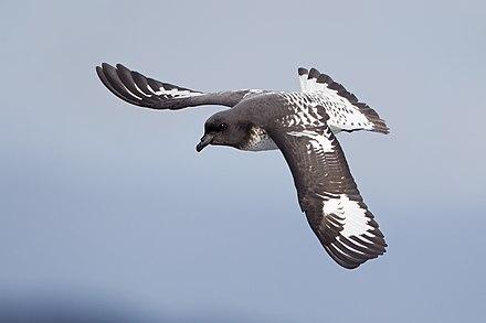 Australian Birds Petrels
