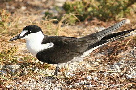 Australian Birds Sooty tern