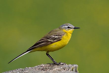 Yellow and Grey Wagtail