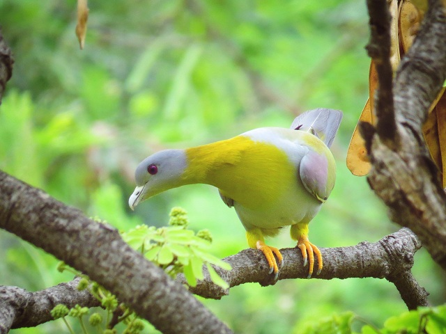 Koyna bird sanctuary Yellow-footed green pigeon