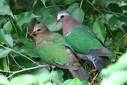 Beautiful Emerald Dove